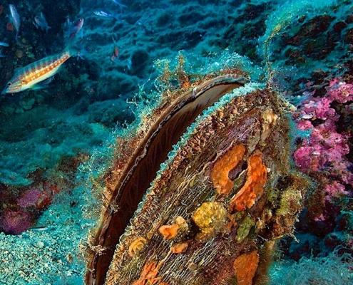 Byssus Muschelseide Sardinien